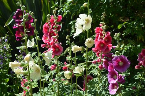 English Cottage Design by How To Grow Hollyhocks From Seed The Garden Of Eaden