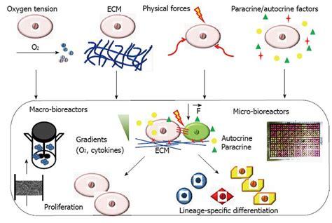 bioreactor cell culture protocol engineering stem cell niches in bioreactors