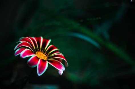 fiore rosso fiore rosso