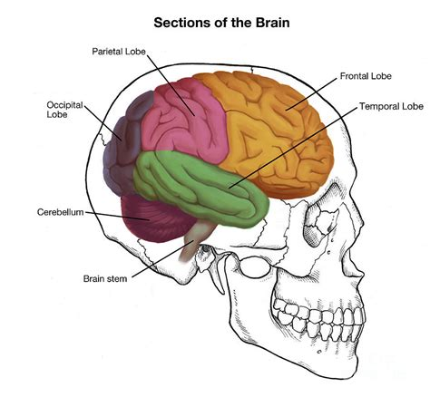 Sections Of The Brain And What They sections of the brain photograph by spencer sutton