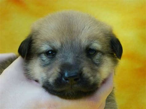 chinook puppies for sale chinook puppies with the puppies swimming breeds picture