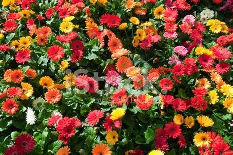 fotografie di fiori primavera sfondi di fiori colorati sfondi