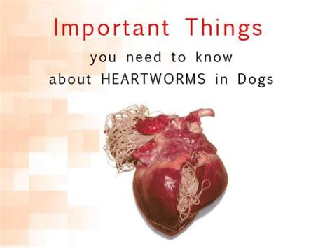 how to tell if your has heartworms need to about heartworms in dogs