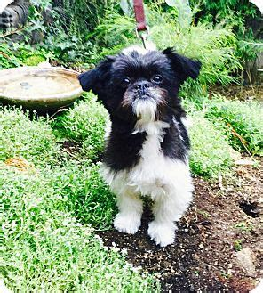 brussels shih tzu mix los angeles ca brussels griffon shih tzu mix meet cookie a for adoption