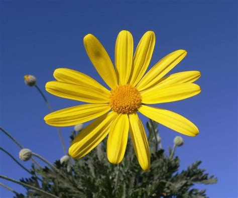flower picture daisy flower 3 thin yellow daisy flower jpg hi res 720p hd