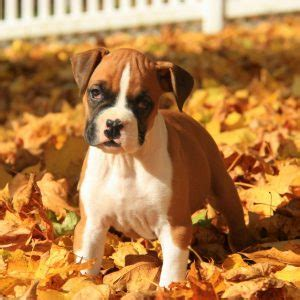 boxer puppies denver boxer puppies for sale in pa