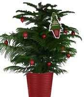 norfolk island pine a real christmas tree that will last