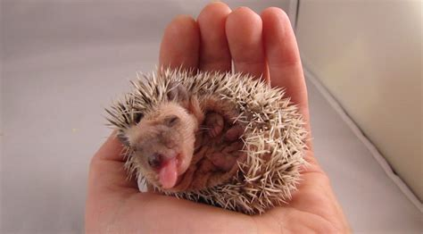foaming at the why hedgehogs self anoint foaming at the and