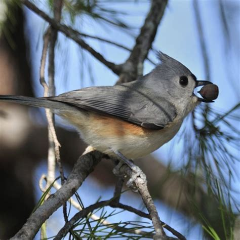 tufted titmouse florida eco travel guide