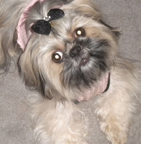 how much to feed shih tzu puppy what food is best for 1 yr shihtzu autos weblog