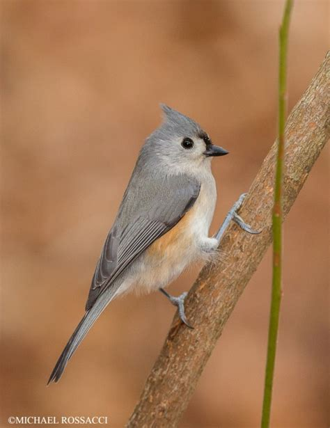 tufted titmouse birdwatching