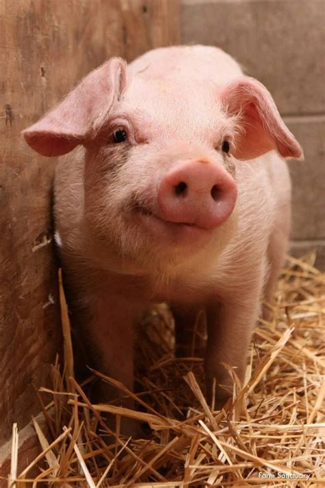 Animal Farm Pig 25 best ideas about pigs on baby pigs