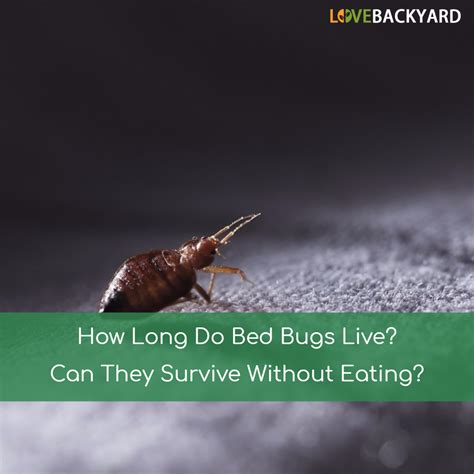 how long do bed bugs live can they survive without eating