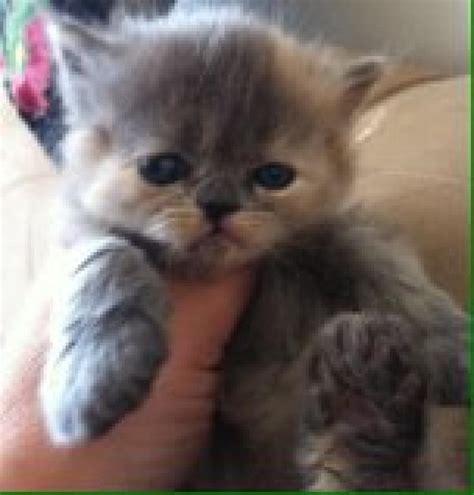 persian kitten your pet store in newmarket