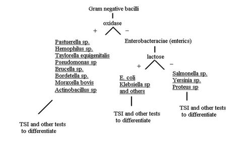 gram negative bacilli flowchart gram negative rods chart www pixshark images