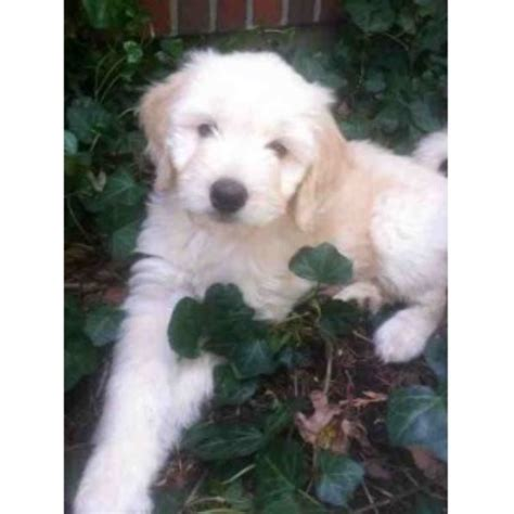 goldendoodle puppy rescue nj golden driven to doodles goldendoodle breeder