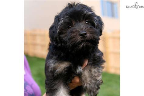 lowchen puppies for sale lowchen puppy for sale near omaha council bluffs nebraska bc293f50 a2a1