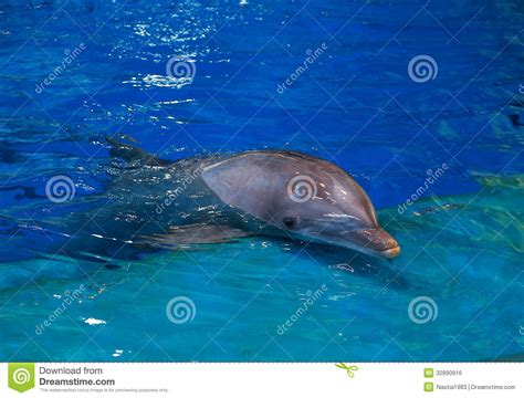 resting dolphin in bright blue royalty free stock image