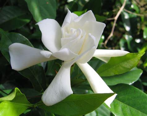 gardenia vaso gardenia come coltivare piante appartamento come