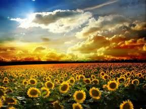sunflower fields sunflower field pixdaus