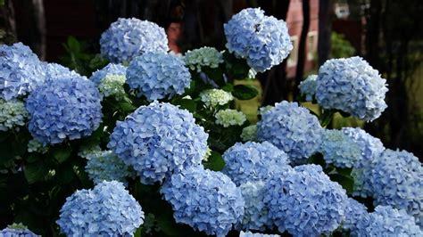 hydrangea change color easy ways to change hydrangea colors the grumpy gardener