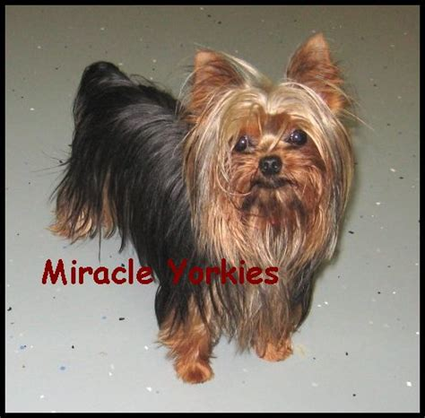 yorkie puppies nc pomeranian puppy for sale in fort worth breeds picture