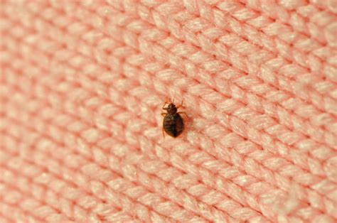Bed Bugs Smell by Repulsive Smell Could Combat Bed Bugs Sciencedaily