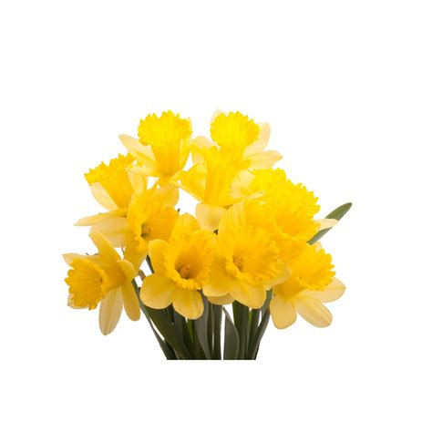 daffodil yellow yellow daffodils daffodils types of flowers flower muse
