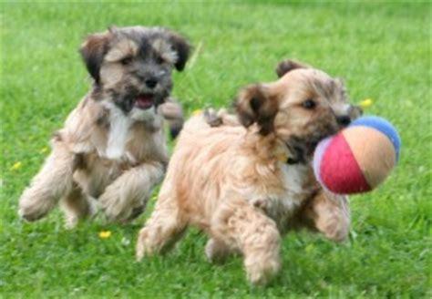 when do havanese puppies stop growing lhasa apso welpen breeds picture