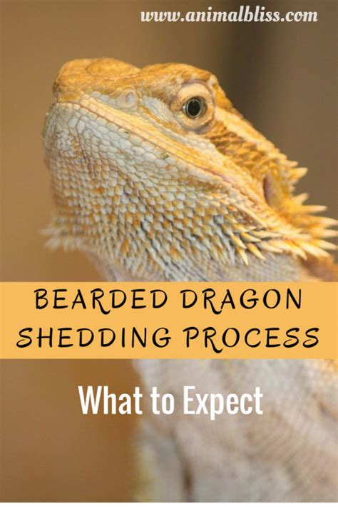 What To Do When Your Bearded Is Shedding by Bearded Shedding Process Reptile Shed What To