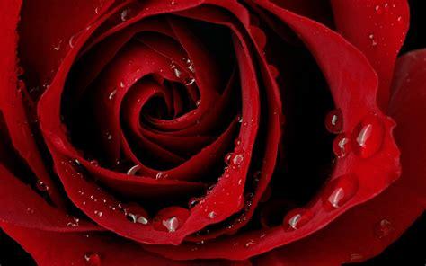 images of love rose hd love rose hd wallpaper love wallpapers romantic