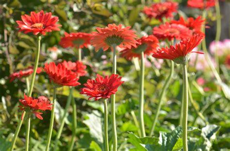 Gerbera Garten Pflanzen gerbera pflanzen 187 der kleine ratgeber