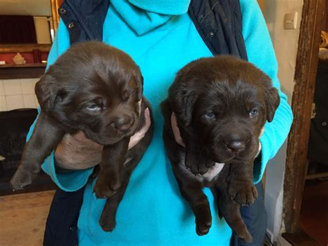 labrador puppies for sale in ct chocolate lab puppies for adoption in ct breeds picture