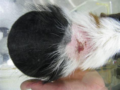 guinea pig mites treatment foto gambar