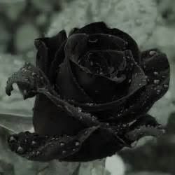 rosas negras 83 best rosa negra images on pinterest black beautiful