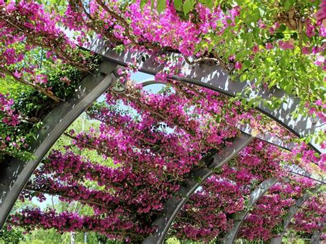 Winter Gardening Jobs - bougainvillea the plant gardeners either love or queensland times