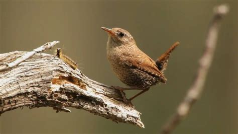 winter wren portrait youtube