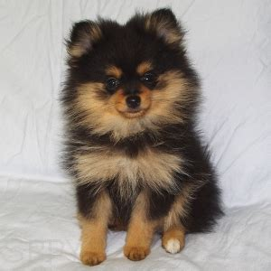 white and brown pomeranian pomeranian puppies brown