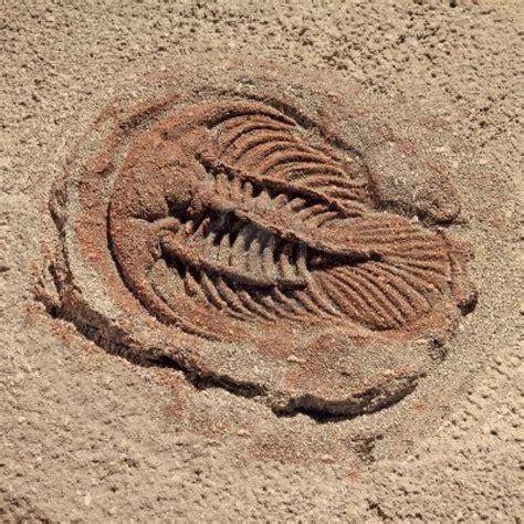 imagenes de fosiles ciencias i 201 nfasis en biolog 237 a grupo quot b quot f 243 siles