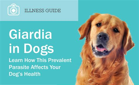 puppy giardia giardia in dogs