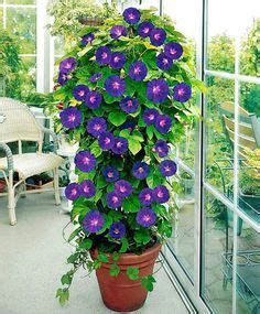 25 best ideas about morning glory flowers on pinterest
