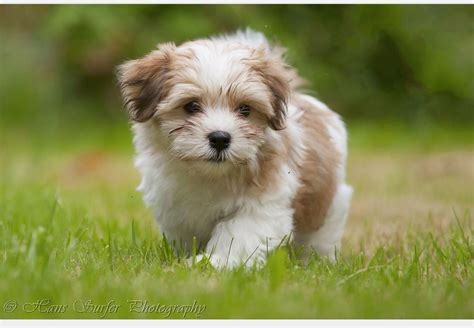 pet dogs and puppies for sale in walsall west midlands adverts small puppy young dog wanted walsall west midlands
