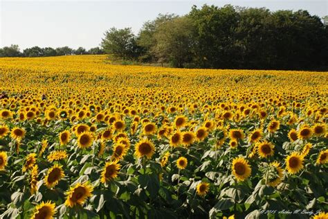 sunflower field in kansas sunflower field ted duboise ted grinter s sunflower field 06 september 2015 16 52
