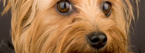 how does a yorkie stay the best food for yorkies keeping your healthy