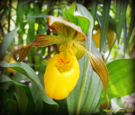 ladys slippers tiny elfin lady s slipper 171 meanwhile melody muses