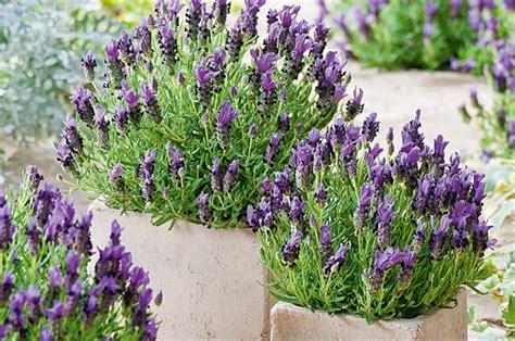 Benih Bibit Biji Lavender White Seeds Import jual benih bibit biji lavender blue flower