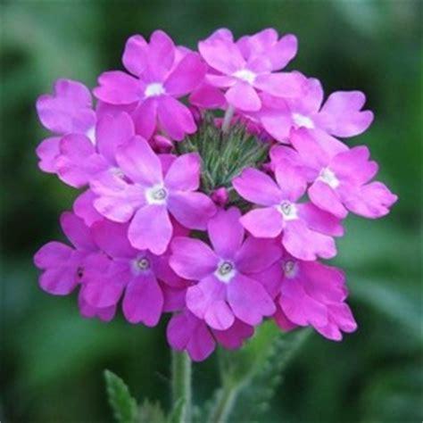 verbena fiore la verbena il mio giardino fiorito