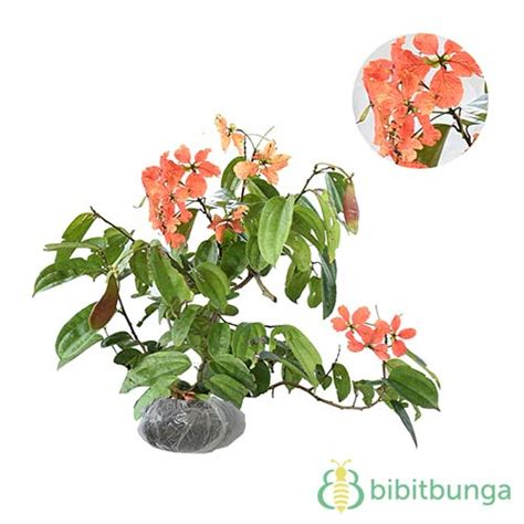 Tanaman Hias Camelia Lolypop tanaman white camellia bibitbunga