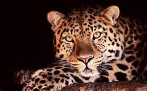 Jaguar Mammal Pin Jaguar The Animal S On