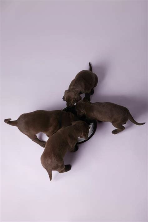 how much to feed a 6 week puppy how to labs to hunt ehow